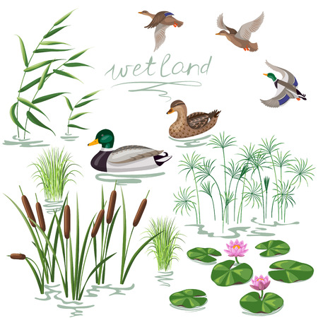 pond water: Set of wetland plants and birds. Simplified image of  reed, water lily, cane and carex.  Flying and floating wild ducks isolated on white.