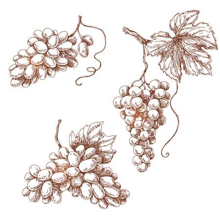 vid: Conjunto de varios uva. Bosquejo drenado mano de los racimos de uva aislados en blanco.