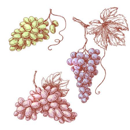 vid: Conjunto de varios uva. Dibujado a mano boceto color de racimos de uva aislados en blanco.