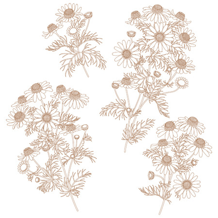 bunches: Contour image of wild chamomile bunches.