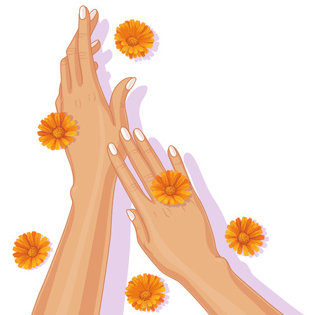 calendula: Female hands and scattered calendula flowers on white background. Illustration