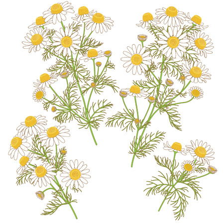 bouquet of flowers: Colored  image of wild chamomile bunches with brown contour isolated on white. Illustration