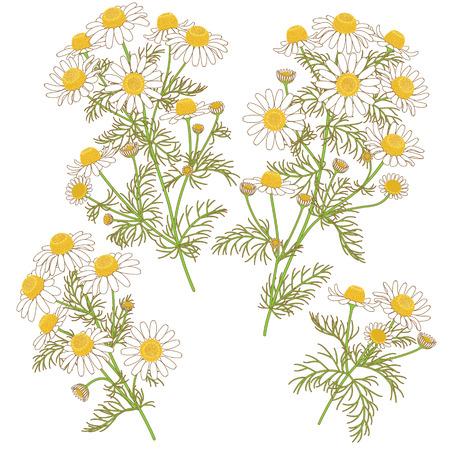 bouquet fleurs: Image colorée de la camomille sauvage grappes avec contour brun isolé sur blanc.