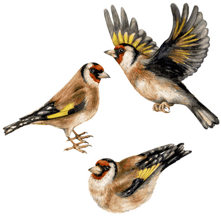 Watercolor image of flying, sitting and walking goldfinches isolated on white background.