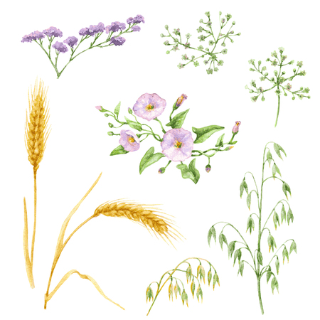 wild oats: Watercolor elements of wildflowers and cereals isolated on white background. Floral set.