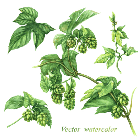 Watercolor image of hops branch fragments isolated on white.