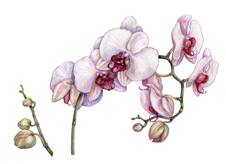Watercolor branch of orchid flowers.