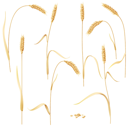 reaping: Wheat ears set and grains isolated on white background.
