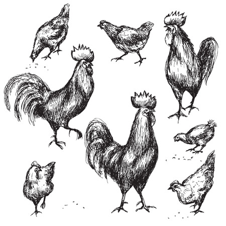 feathering: animalistic illustration. Image of rooster isolated on white. Cocks and hens sketch.
