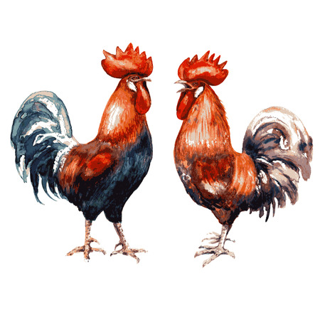 animalistic illustration. Image of roosters isolated on white. Watercolor  two various  red cocks. Ilustração