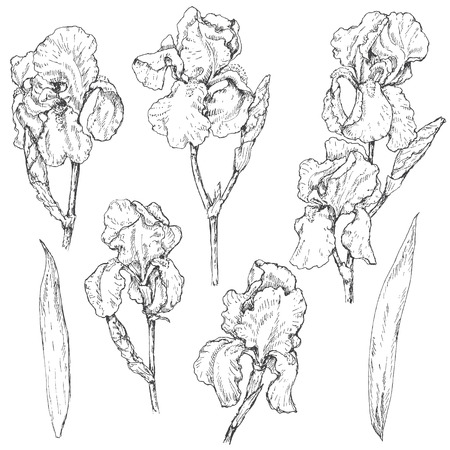 Hand drawn set of doodle flowers. Monochrome image of iris. Floral elements for decoration. Vector sketch.