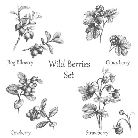 Illustrazione disegnata a mano di frutti di bosco. Ramoscelli di frutti di bosco. set in bianco e nero schizzo bacca. Vettoriali