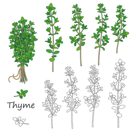 Set di ramoscelli delineati di timo isolato su bianco. Bundle di timo verde legato con lo spago. Vettoriali