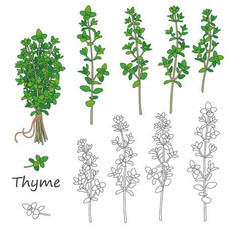 Zestaw przedstawionych gałązek tymianku na białym. Pakiet zielony tymianku związane sznurkiem. Ilustracje wektorowe