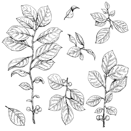 buckthorn: Hand drawn buck thorn branches with leaves and berries. Illustration