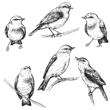 warble: Hand drawn set of forest birds isolated on white. Monochrome sketch of sitting songbirds.