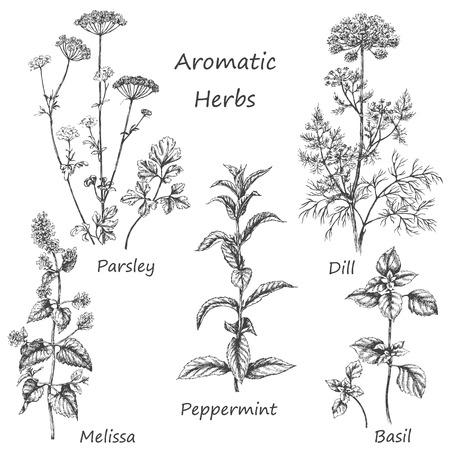 Mão-extraídas elementos florais. Conjunto de ervas aromáticas. Desenho de plantas medicinais perfumadas e especiarias. Imagem monocromática de endro, hortelã, salsa, manjericão, melissa, hortelã-pimenta. Ilustración de vector