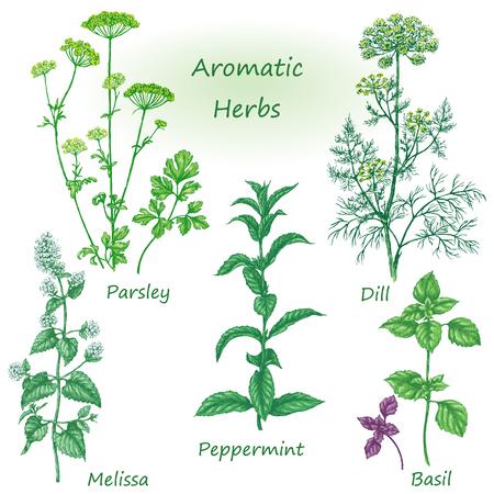 Getrokken bloemen elementen. Aromatische kruiden in te stellen. Schets van medicinale geurende planten en kruiden. Gekleurd beeld van dille, munt, peterselie, basilicum, melissa, pepermunt geïsoleerd op wit.