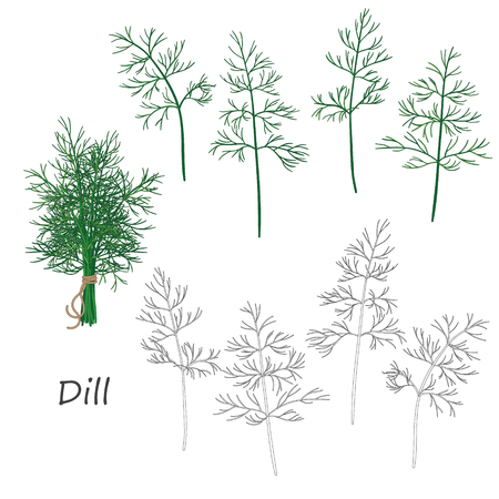 dill: Set of outlined  and green  twigs  of dill   isolated on white. Bundle of dill tied with string.