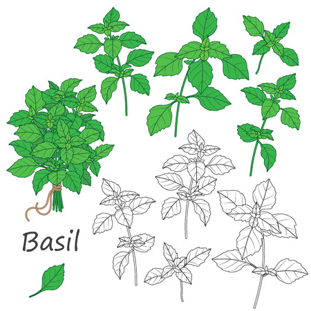 flavoring: Set of outlined  and green  twigs  of basil   isolated on white. Bundle of  flavoring  herbs tied with string. Illustration