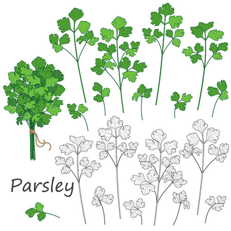 green herbs: Set of outlined  and green  twigs  of parsley   isolated on white. Bundle of  flavoring  herbs tied with string. Illustration