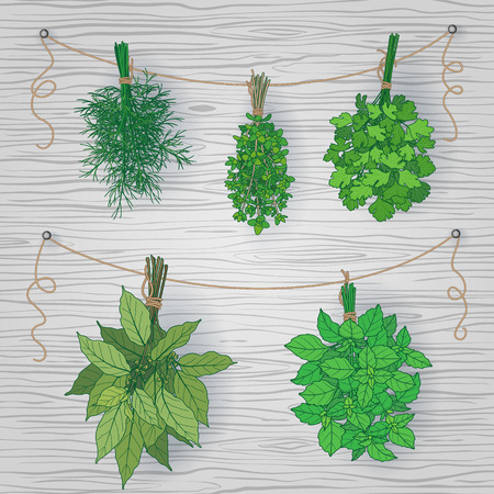 green herbs: Bundles of thyme, bay leaves, dill, parsley and basil tied with a string.  Bunches of  flavoring  green herbs hanging on grey wooden background. Illustration