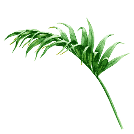 frond: Hand drawn tropical plants. Watercolor palm frond. Green leaf isolated on white.