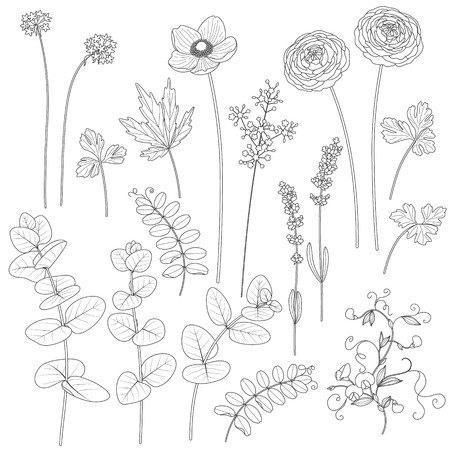 lavender bushes: Set of leaves and flowers. Contoured image of plants. Black and white floral elements for coloring.
