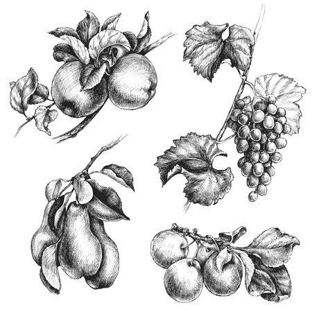 pear tree: Hand drawn fruit set. Monochrome apple, pear, grapes and plum hanging on branches with leaves. Vector sketch. Illustration