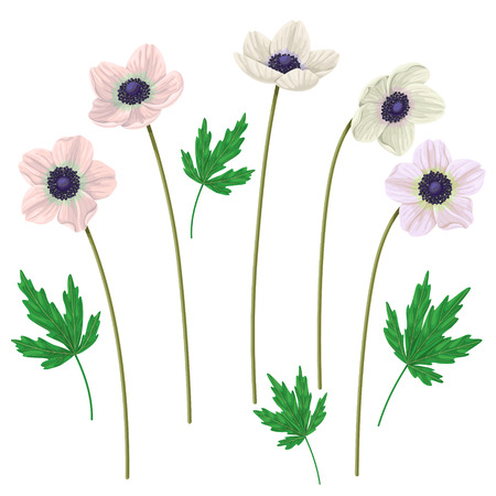 Anemone  flowers on high stems and leaves isolated on white  background. Simplified  floral elements set  for decoration. Illustration