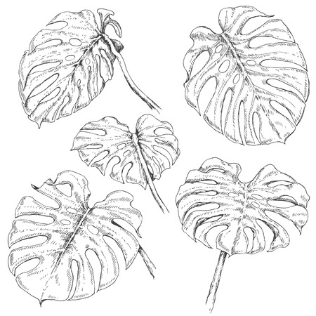 monstera leaf: Hand drawn branches and leaves of tropical plants. Monstera fronds sketch. Illustration