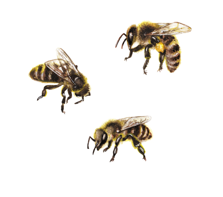 Hand drawn insects isolated on white background. Set of watercolor honeybees. Stock Photo