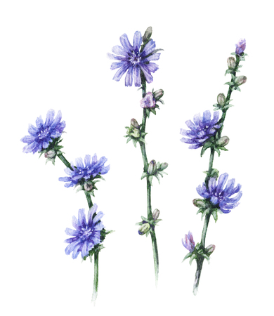 Hand drawn floral set. Watercolor wild chicory  with blue flowers  and buds isolated on white  background. Summer wildflowers aquarelle sketch. Stock Photo