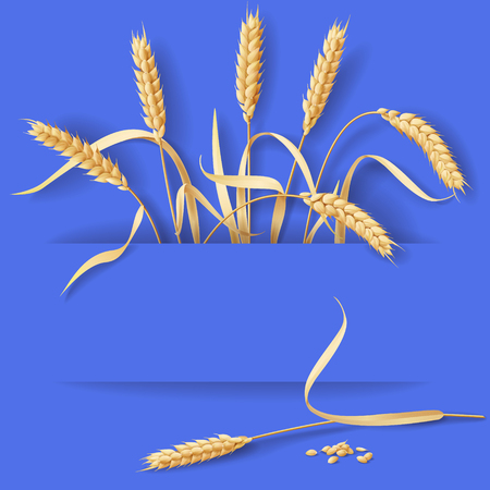 grain fields: Ripe wheat ears  and grains  on blue background with space for text