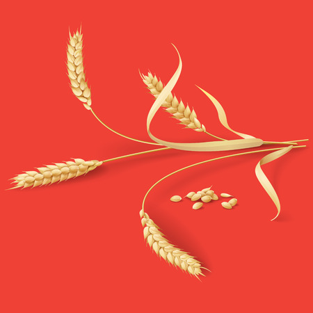Ripe wheat ears  and grains  on red background. Illustration