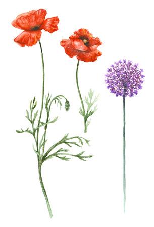 Conjunto floral dibujado a mano. Acuarela flores silvestres aisladas sobre fondo blanco. Amapolas rojas y cebollas salvajes en tallos altos. Bosquejo de la acuarela de los wildflowers del verano. Foto de archivo - 80225114