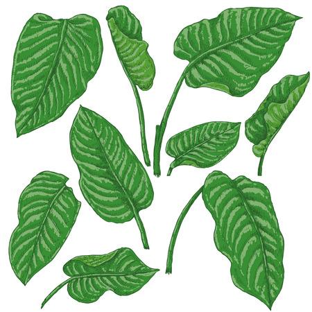 손으로 그려진 된 가지와 열 대 식물의 나뭇잎. Dieffenbachia 녹색 잎 흰색 배경에 고립입니다. 벡터 스케치입니다.