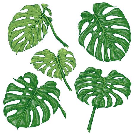 手描きは、枝や葉は熱帯植物の。グリーンのモンステラの葉が白で隔離。ベクター スケッチ。