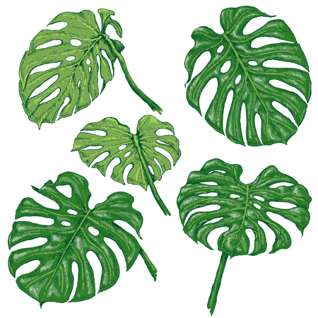 Hand drawn branches and leaves of tropical plants. Green Monstera fronds isolated on white. Vector sketch. Stok Fotoğraf - 80788984