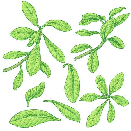 Hand getrokken takken en bladeren van tropische planten. Groen synadenium geïsoleerd op wit. Vector schets.