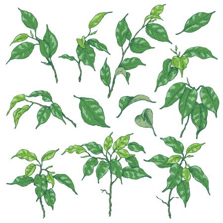 열 대 식물의 손으로 그린 된 스케치입니다. 녹색 ficus 분기와 나뭇잎 화이트에 격리입니다. 벡터 스케치입니다.
