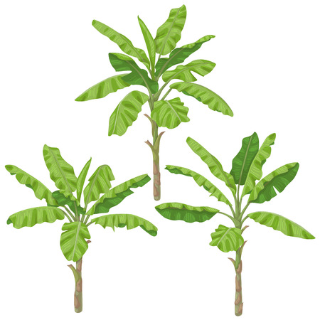 Banana plants isolated on white background. Palm trees with green fronds.  Vector flat illustration.