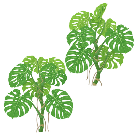 Monstera plants isolated on white background. Tropical liana with green fronds and air roots.  Vector flat illustration.