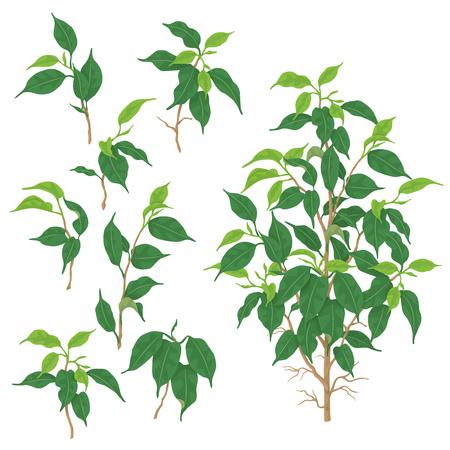 Afzonderlijke elementen van Ficus benjamina geïsoleerd op een witte achtergrond. Tropische plant met kleine groene bladeren. Platte vectorillustratie