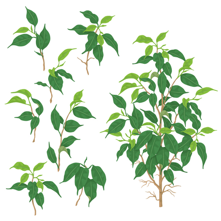 Separate elements of Ficus benjamina isolated on white background. Tropical plant with small green leaves.  Vector flat illustration.  Ilustração