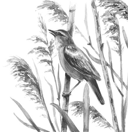 水彩画。 ●手描きのイラスト。マーシュの鳥はリードで歌う。 白に隔離されたモノクロのソングバード。