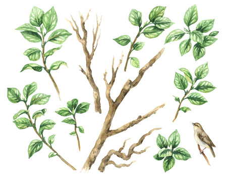 Watercolor painting.  Hand drawn illustration. Aquarelle set  of tree branches and green leaves. Foliage elements isolated on white.