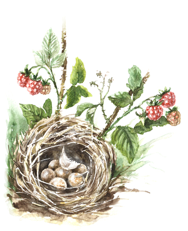 Watercolor painting. Hand drawn illustration. Songbird nest with eggs isolated on white. Ripe red forest raspberry. Bird  house hidden in grass aquarelle sketch.