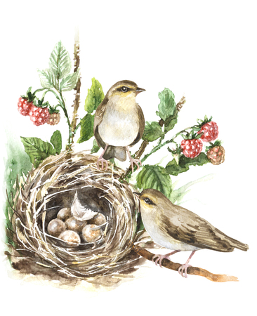 Watercolor painting. Hand drawn animalistic illustration. Couple songbirds and nest with eggs isolated on white. Bird family aquarelle sketch. Birds house on ground hidden in grass and raspberry plant. Stock Photo