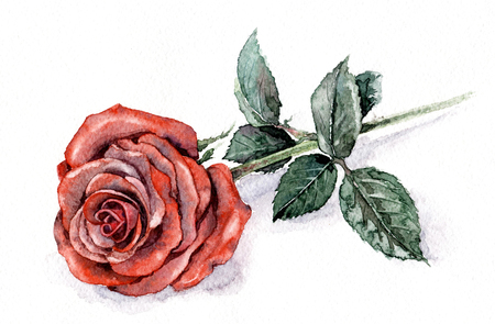 Watercolor painting. Hand drawn illustration with rose branch. Big beautiful flower with red petals and green leaves.